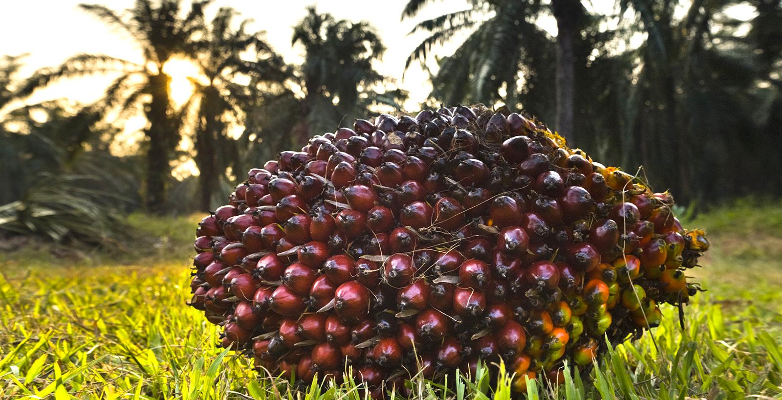 Grappolo di frutti di palma da olio