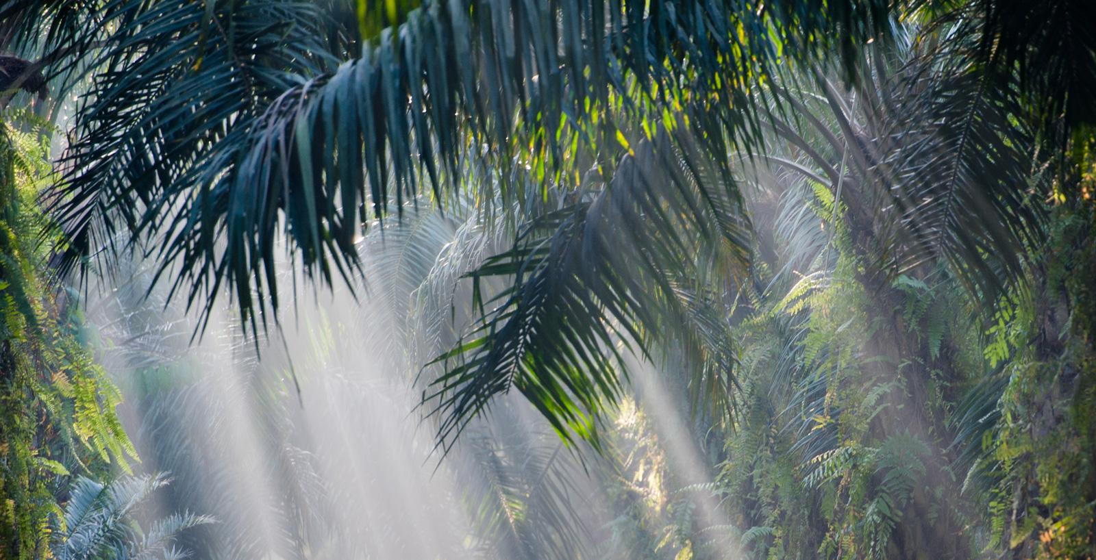 Piantagione sostenibile di palme da olio.