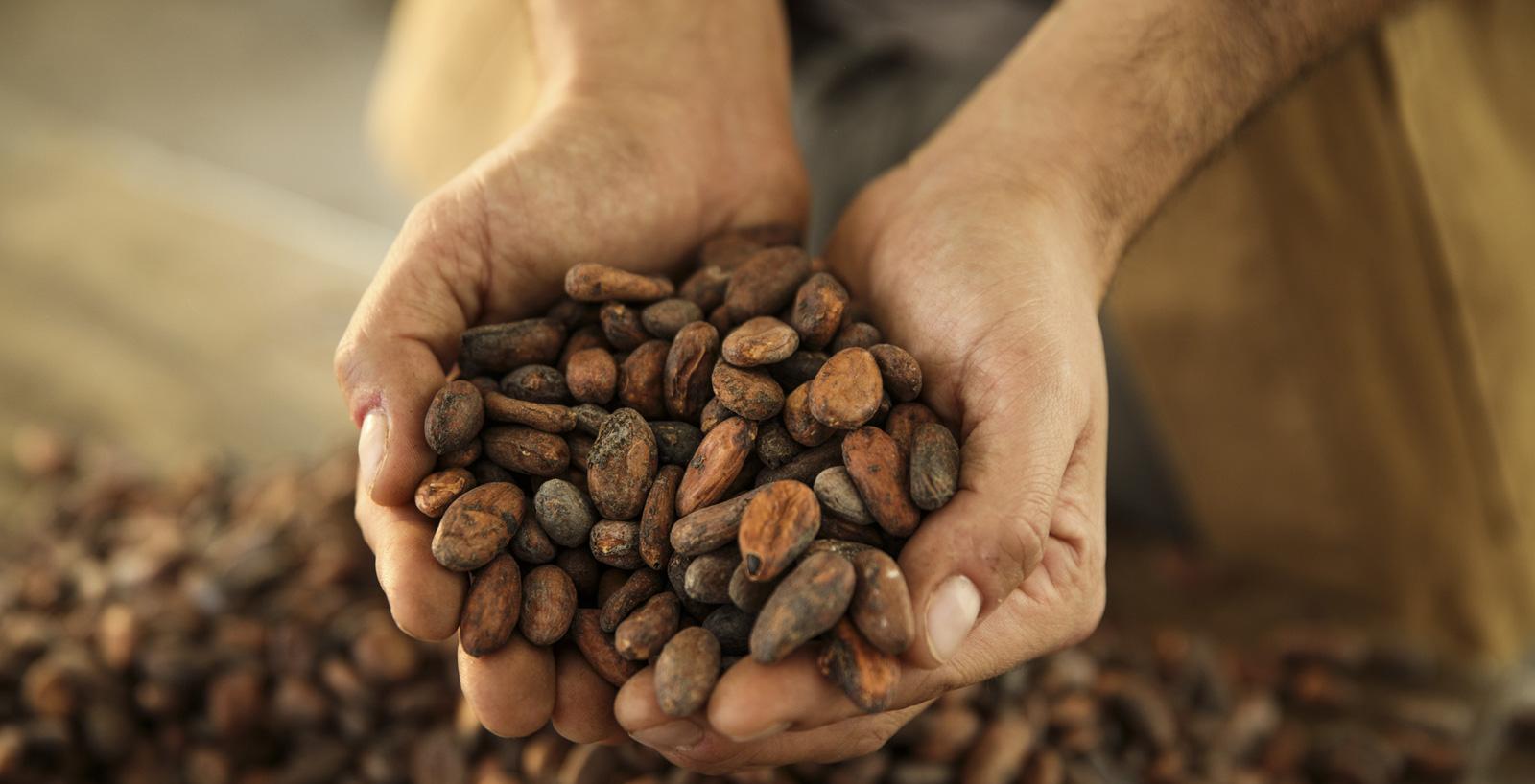 Cura delle fave tostate di cacao.