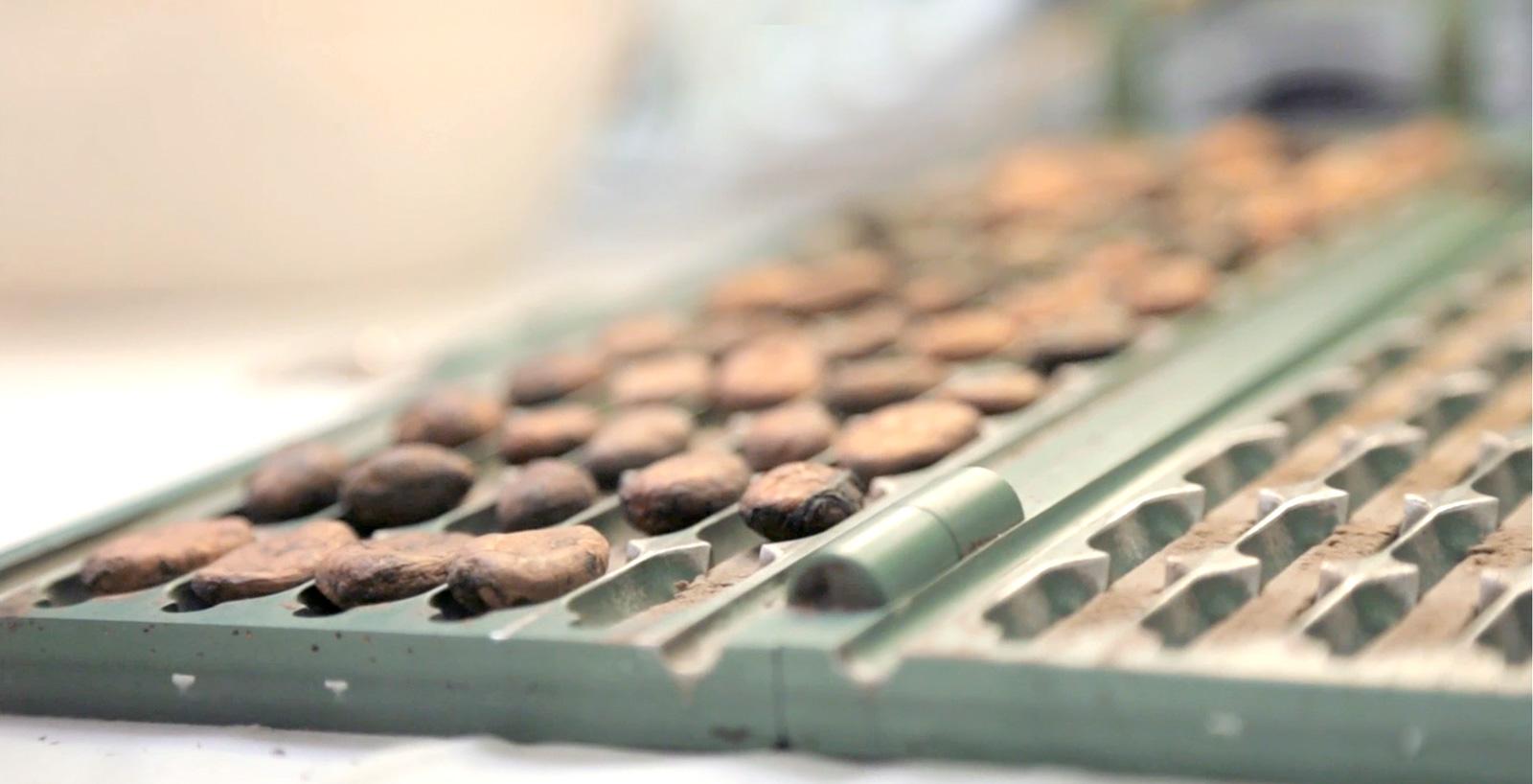 Qualità controllata del cacao.