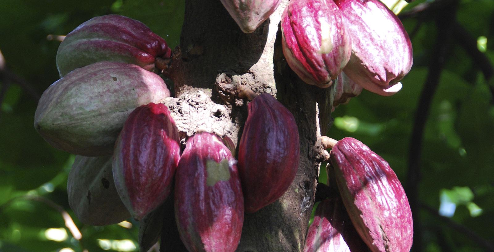 Cabosse dell'albero del cacao.