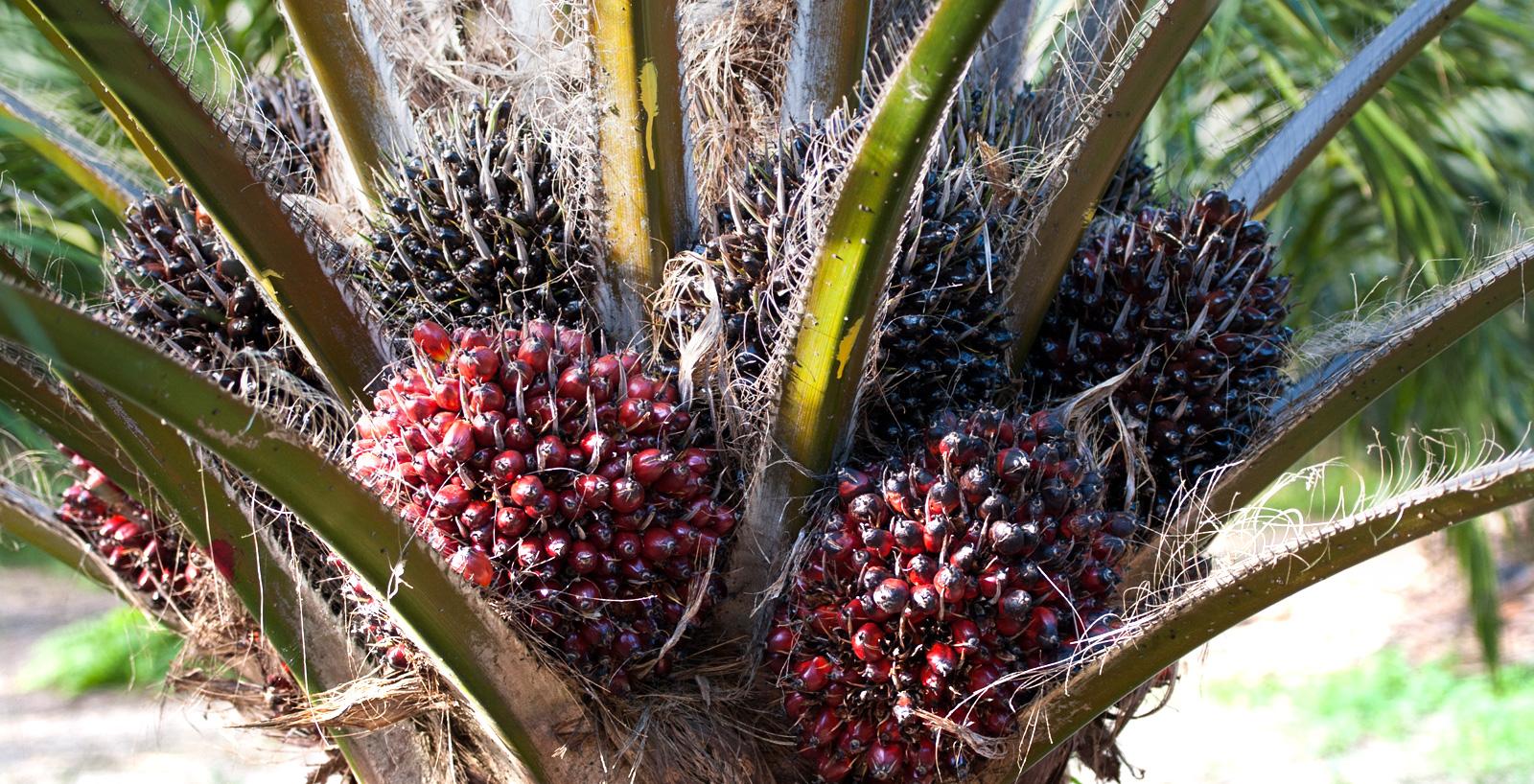 Grappoli dei frutti della palma.